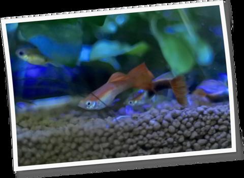 ミナミヌマエビと魚の混泳は避けよう!