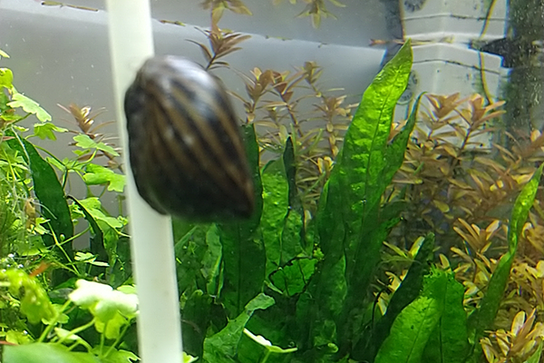 エアチューブを掃除するシマカノコ貝