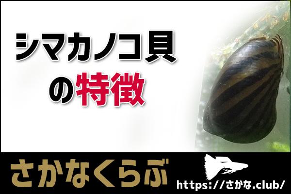シマカノコ貝の特徴